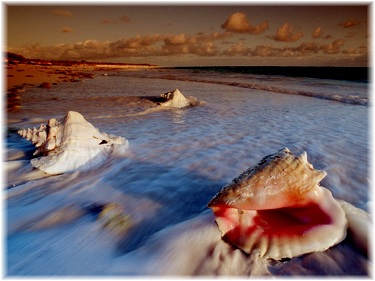 conch shells on the shore