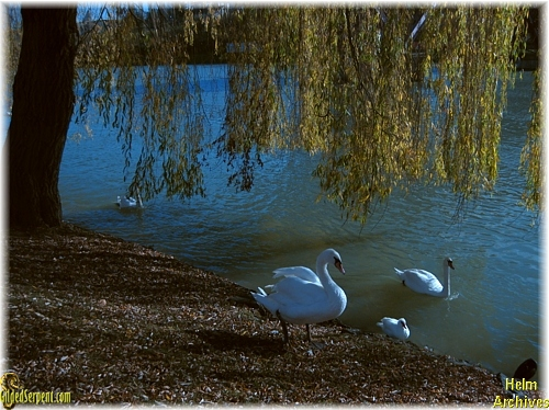 Swans on the Drava river