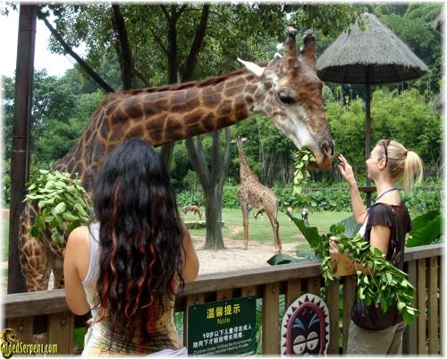 petting the giraffe at the zoo