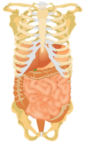 Abdomen diagram